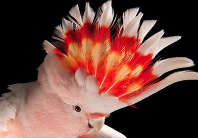 米切氏凤头鹦鹉多少钱一只?