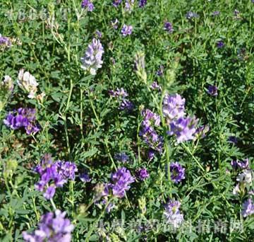 优质牧草国产紫花苜蓿