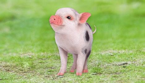 巴马香猪养殖技术、成本
